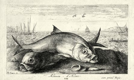 ALAUSE L'ALOSE - THE RIVER HERRING or SHAD engraving
