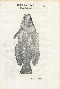 ALDROVANDI - THE PEACOCK WRASSE print 1638