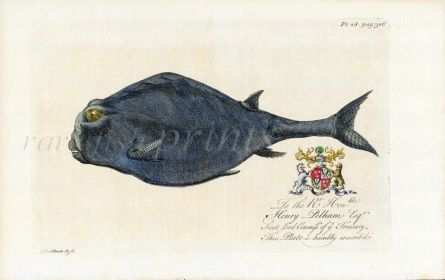 HUGHES/EHRET THE NATURAL HISTORY OF BARBADOS 1750 - THE PUFFERFISH print