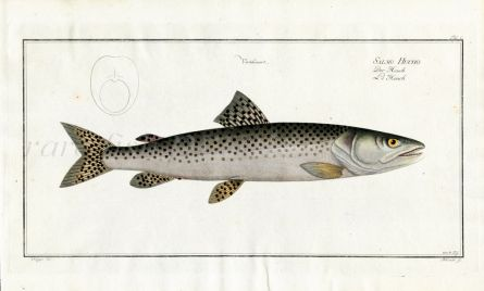 THE HUCHEN or DANUBE SALMON print  (Salmo Hucho)
