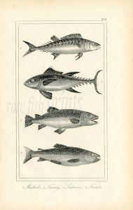 BUFFON/DAVENPORT - MACKEREL, TUNNY, SALMON & TROUT print 1821