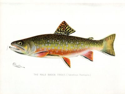 THE MALE BROOK TROUT print (Salvelinus Fontinalis)