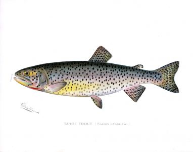 THE TAHOE TROUT print  (Salmo Henshawi)