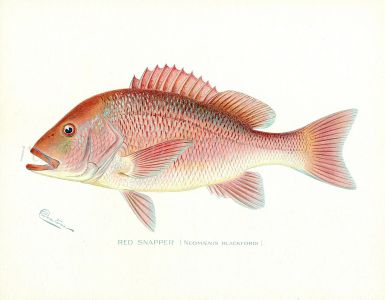 THE RED SNAPPER print (Neomaenis Blackford)