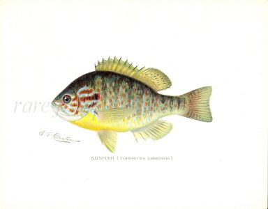 THE SUNFISH print (Eupomotis Gibbosus)