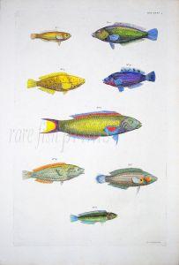 THE GREYHEAD, RAINBOW & MOON WRASSE coral reef fish print