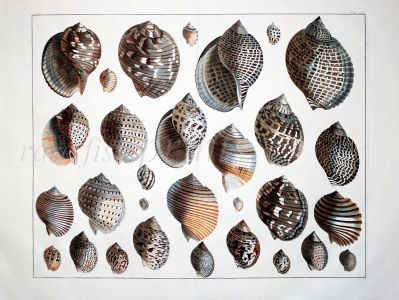 SEBA - CONCHOLOGY: TUN & HELMET SHELLS FROM THE INDO-PACIFIC AND WEST ATLANTIC - shell print 1734 -1769