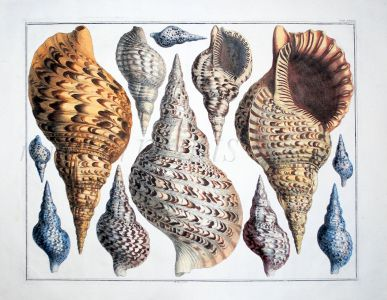 SEBA - CONCHOLOGY: TRITON TRUMPETS shell print 1734 - 1769
