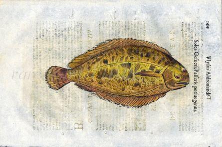 ALDROVANDI - THE SOLE print (Solea)