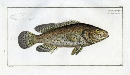 THE JACOB EVERTSEN print ( Bodianus Guttatus)