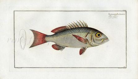 THE LUTIAN print (Lutianus Lutiaunus)