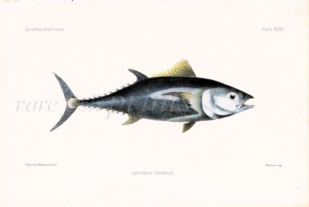 THE BLUEFIN TUNA FISH print