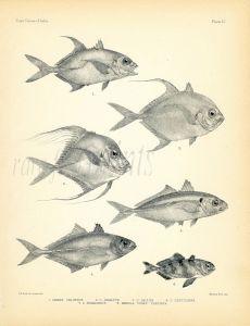 FRANCIS DAY - JACKS -  TREVALLY print (Caranx - Carangidae) 1899