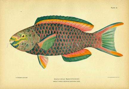 THE QUEEN PARROTFISH print