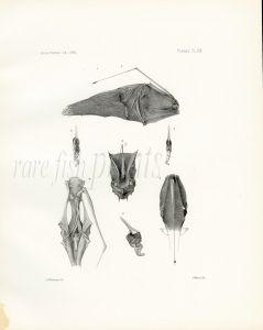 GARMAN - ANGLERFISH print (Dolopichthys elector) Deep sea fishes 1891