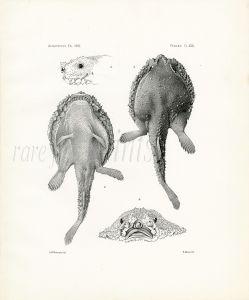 GARMAN - BATFISH print (Malthopsis spinosa) Deep-sea fishes 1891