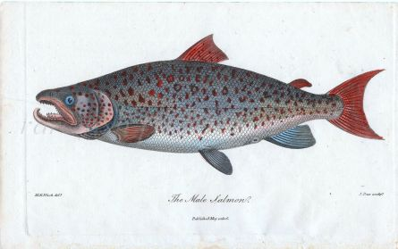 MARCU BLOCH  J. PASS - Salmo salar - THE ATLANTIC SALMON print 1806