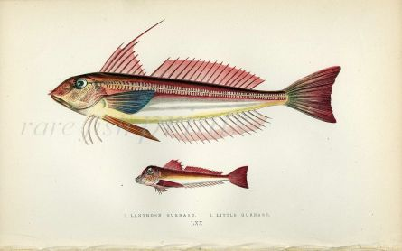 THE LANTHORN & LITTLE GURNARD fish print