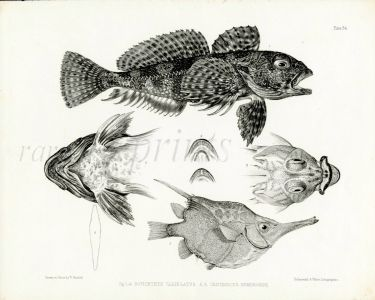 RICHARDSON - THE THORNFISH & BANDED BELLOWSFISH print 1839 -1843