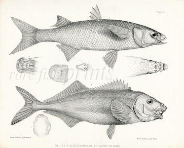 RICHARDSON - THE  YELLOW-EYE MULLET & BLUE MOKI print 1839 -1843
