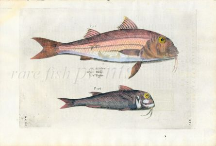 SALVIANI - THE RED MULLET  fish print (Mullus barbatus/Mullus surmuletus) 1554