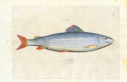 SALVIANI - THE GRAYLING fish print (Thymus - Thymallus thymallus) 1554