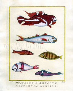 PLATE ONE: EXTRAORDINARY FISHES OF AMBON - BIG-EYED SCAD, SEBA'S ANEMONEFISH, CORIS print
