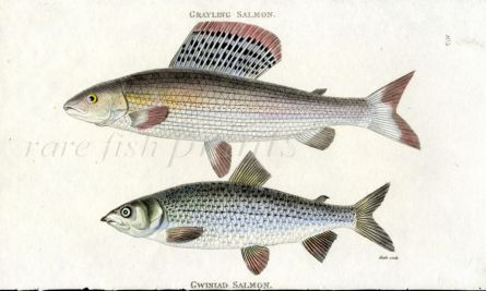 THE GRAYLING & GWINIAD SALMON print