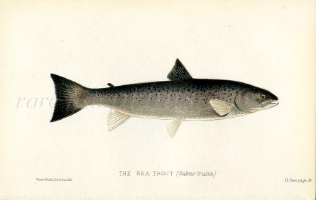 THE SEA TROUT (salmo trutta) fish print