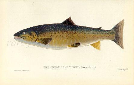 THE GREAT LAKE TROUT print  (Salmo ferox)