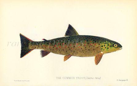 THE COMMON TROUT print (Salmo fario - Brown trout)