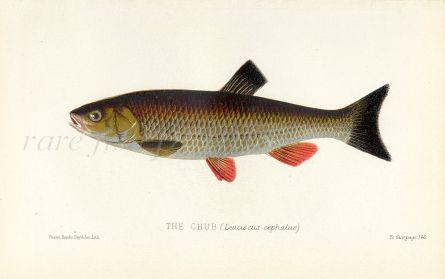 THE CHUB print ( Leuciscus cephalus)
