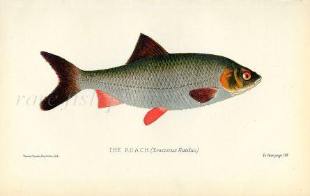 THE ROACH print ( Leuciscus Rutilus)