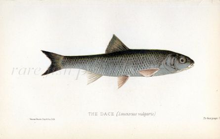 THE DACE print (Leuciscus vulgaris)