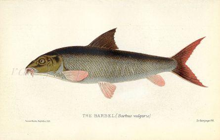 THE BARBEL print (Barbus vulgaris)