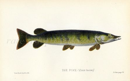 THE PIKE print ( Esox Lucius)
