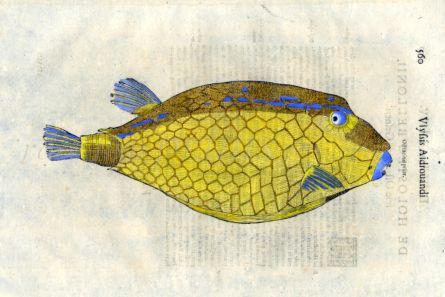 ALDROVANDI - THE BLUE BACKED TRUNKFISH print (Ostracion prior)