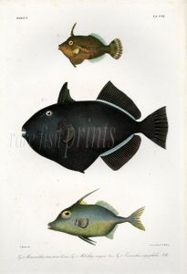 FILEFISH, BLACK TRIGGERFISH & TRIPODFISH print (Monacanthus, Melichthys, Triacanthus)