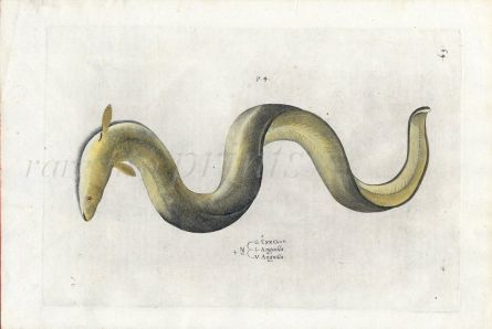 SALVIANI - THE EUROPEAN EEL fish print (Anguilla anguilla) 1554