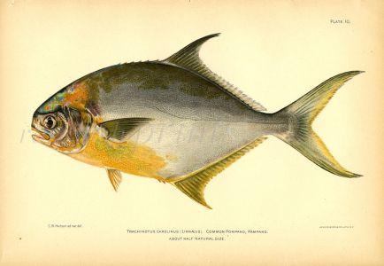 THE COMMON POMPANO fish print