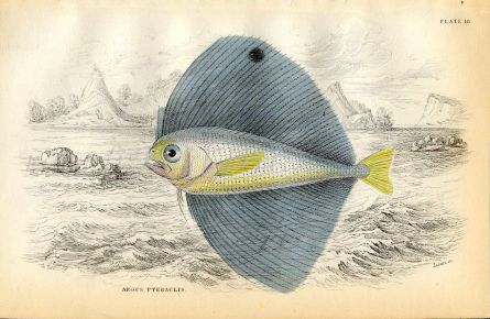 JARDINE/LIZARS - THE  ARGUS PTERACLIS fish print