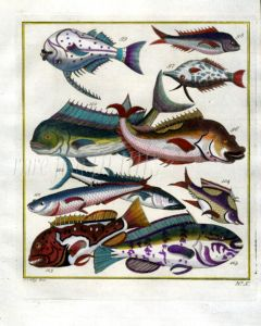 PLATE TEN: EXTRAORDINARY FISHES OF AMBON - DORADO, SPANISH MACKEREL, GROUPER print