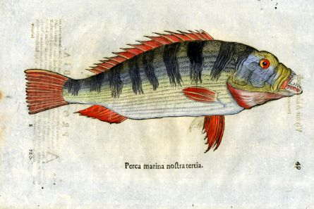 ALDROVANDI - THE MARINE PERCH print (Perca marina)