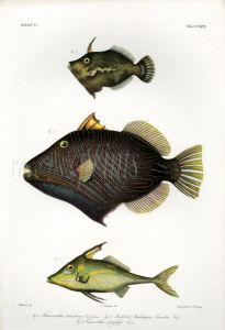 THE FILEFISH, ORANGE-LINED TRIGGERFSIH & TRIPODFISH print (Monacanthus, Balistes, Triacanthus)
