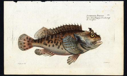 THE SCORPION FISH print (Scorpaena Porcus)