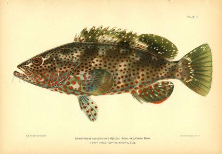 THE ROCK HIND CABRILLA GROUPER fish print