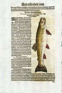 1598 GESNER FISH PRINT - THE SEA TROUT