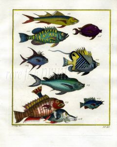 PLATE ELEVEN: EXTRAORDINARY FISHES OF AMBON - GLASSEYE, WRASSE, THREADFIN BUTTERFLYFISH print