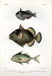 THE TITAN TRIGGERFISH & TRIPODFISH print  (Balistes, Triacanthus)