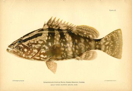 THE NASSAU GROUPER fish print